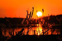 千葉県 夕日に照らされる葦