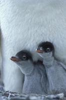 ジェンツーペンギンのヒナ