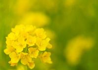 一輪の菜の花