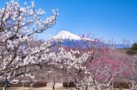 雪化粧したまっ白な富士と満開の白梅
