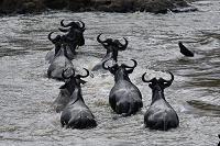 ケニア マサイマラ国立保護区 オグロヌー