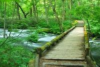 青森県 奥入瀬渓流 木の橋