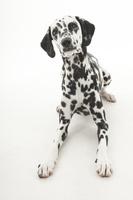 ダルメシアン 足を伸ばしている犬