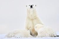 アメリカ アラスカ ホッキョクグマ
