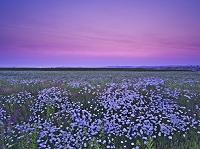 北海道 白い花と朝