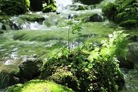 長野県 清流沿いの若葉