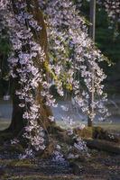東京都 小石川後楽園 しだれ桜 夕景