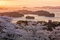 宮城県 朝の松島と桜