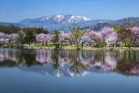 長野県 桜咲く針湖池