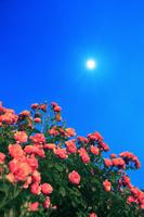 長野県 坂城町 薄暮のバラと月