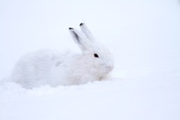 エゾユキウサギ