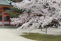 京都府 京都市 桜 平安神宮