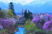 長野県 白馬村 大出公園の桜と北アルプス 夜明け