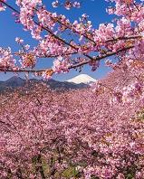 神奈川県 河津桜と富士山