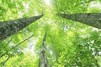 長野県 新緑のブナ林