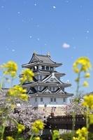 岐阜県 菜の花と桜と墨俣一夜城