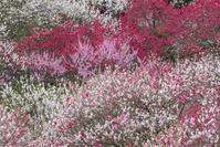 長野県 花桃の里 満開の花桃