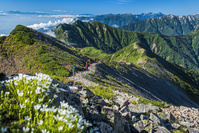 長野県 タカネツメクサと縦走路を行く登山者