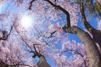 桜咲く春の幹