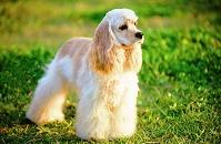 アメリカンコッカースパニエル犬