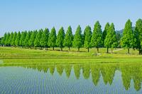 滋賀県 水田とメタセコイヤ並木