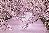 日本 青森県 弘前公園花筏