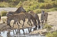 ケニア グラントシマウマの水飲み