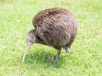 ニュージーランド ノースアイランドブラウンキーウィ