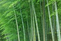 福岡県 合馬竹林公園 竹林