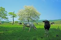 山梨県 ズミ(コナシ)の花咲く八ヶ岳牧場 ハートの牛