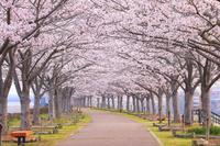 兵庫県 早朝のおの桜づつみ回廊の桜並木