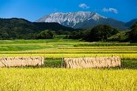 鳥取県 江府町 黄金色に実る棚田と大山南壁