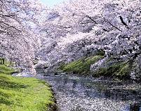 東京都 満開の桜咲く(根川)