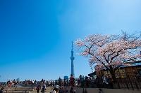 隅田公園 桜 台東区