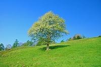 山梨県 朝の八ヶ岳牧場と八ヶ岳 ズミの木