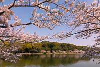 兵庫県 明石市 明石公園 剛ノ池と桜
