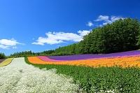 北海道 中富良野 ファーム富田 彩りの畑