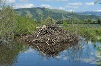 アメリカ合衆国 グランドティトン国立公園 ビーバーの巣