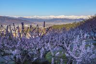 長野県 東条のあんず畑から見た夜明けの北アルプス