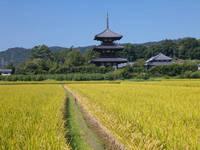 奈良県 稲穂と法起寺