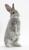 ウサギが立ち上がる