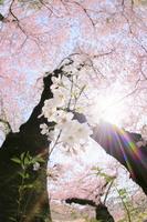 桜の花と降り注ぐ太陽光