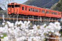岡山県 津山線 鉄橋を渡るキハ47系快速ことぶきと満開の桜
