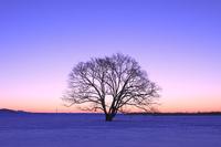 北海道 ハルニレの木と朝焼け