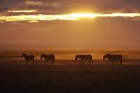 ケニア アンボセリ国立公園 グラントシマウマと朝焼け