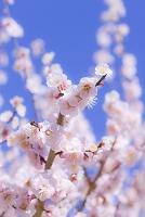 京都府 北野天満宮 梅の花