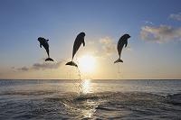 ジャンプするバンドウイルカ