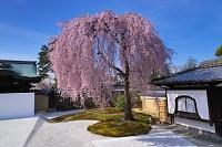 京都府 しだれ桜咲く高台寺