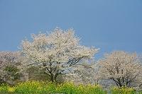 長野県 菜の花と桜の樹