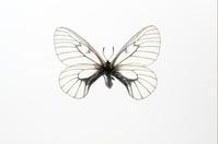 蝶 標本 ウスバアゲハ 日本